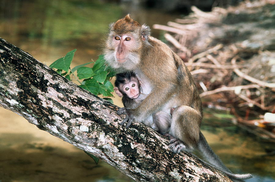 Long-tailed Macaque Photograph - Long-tailed Macaque Mother And Baby by Georgette Douwma