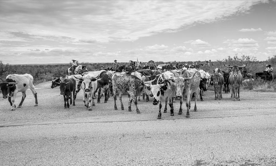 Action Photograph - Longhorn Cattle Drive 3 by Ralph Brannan