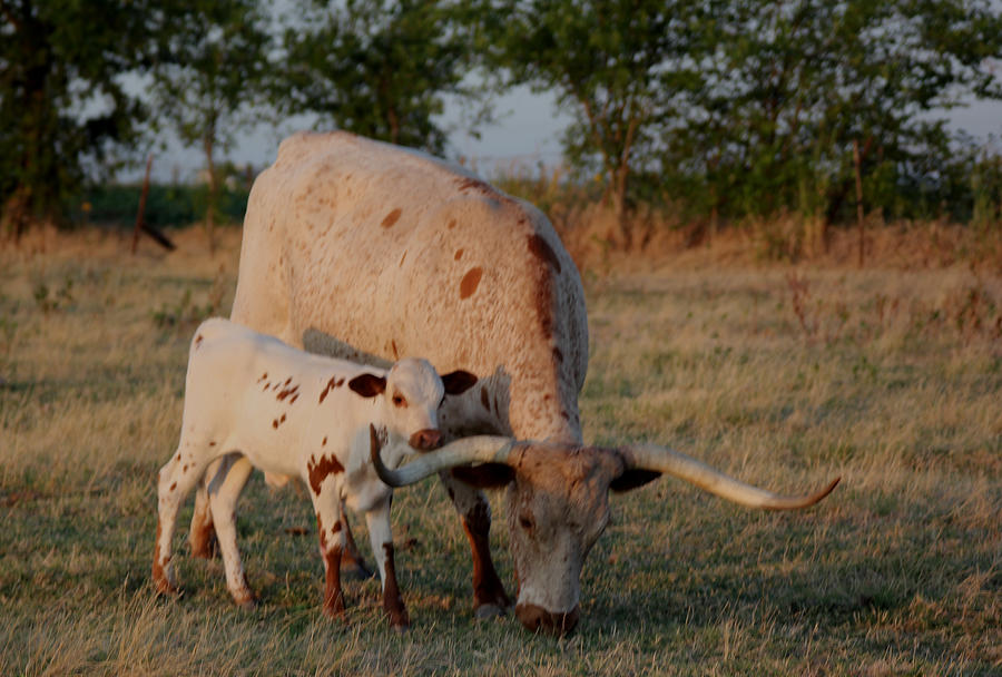 Cow Photograph - Longhorn Cow And Calf by Paul Louis Mosley