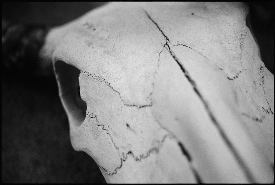 Cow Photograph - Longhorn Skull by Julie VanDore