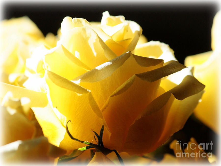Yellow Rose Photograph - Look On The Bright Side  by Carol Groenen
