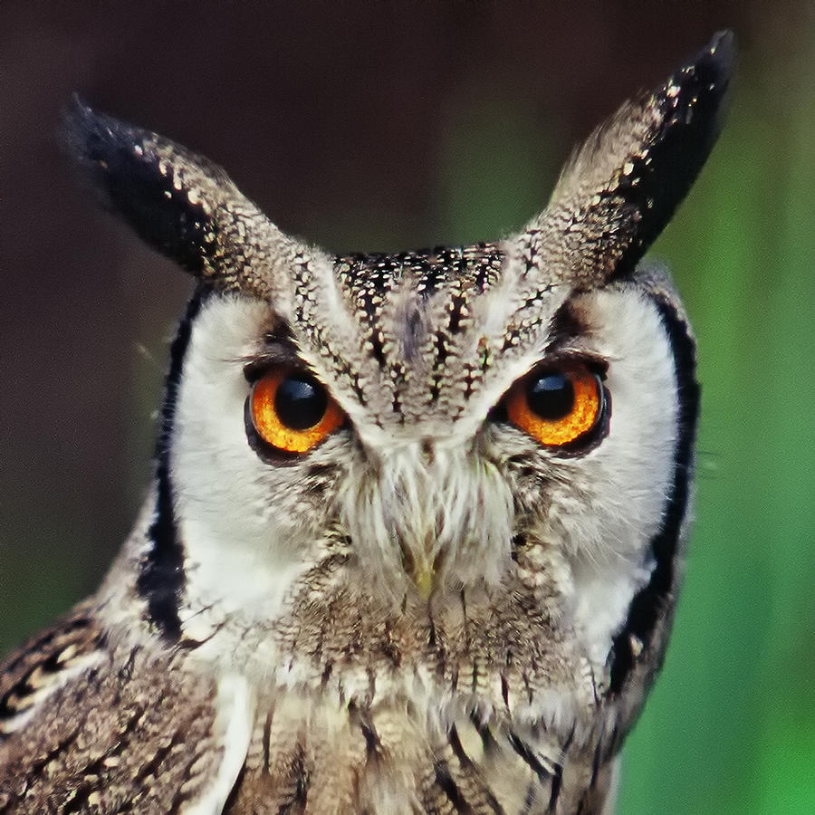 Owl Photograph - Look Right Through Me by Miguel Capelo