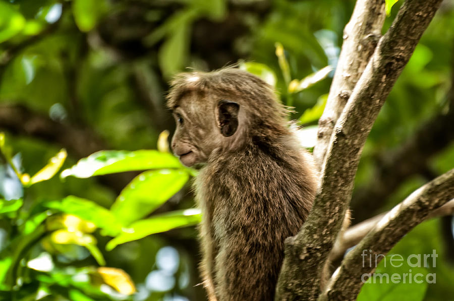 Toque Macaque Photograph - Look To The Future by Venura Herath