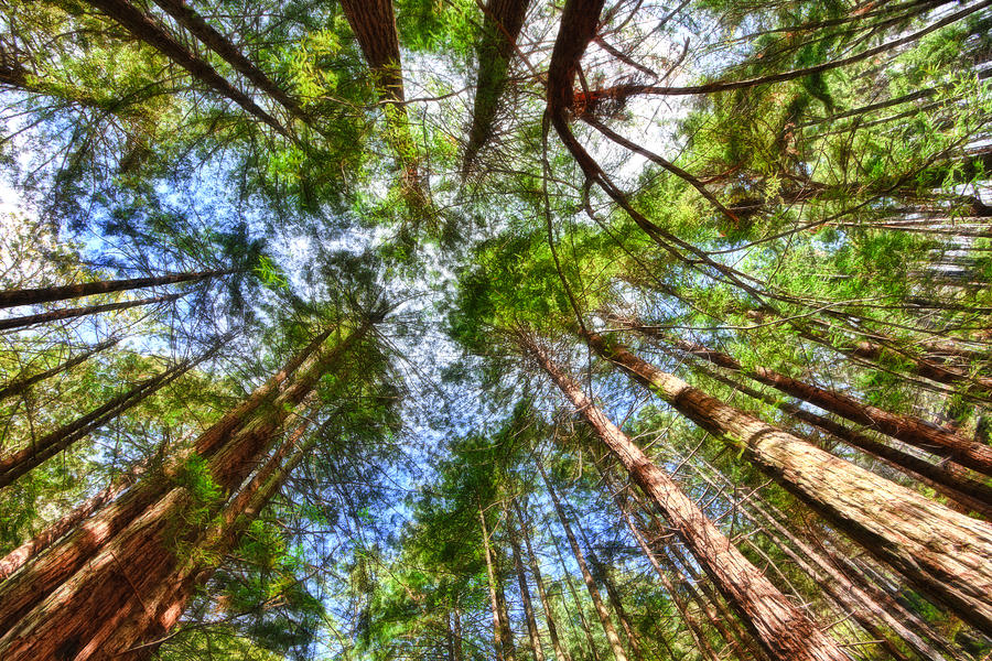Redwoods Photograph - Look To The Sky by Beth Sargent