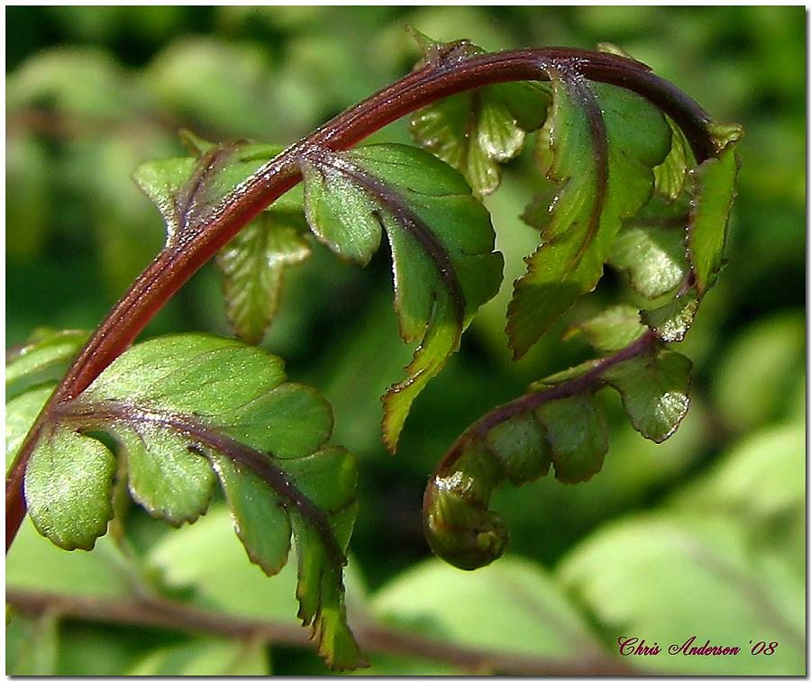 Fern Photograph - Looking For Crosier by Chris Anderson
