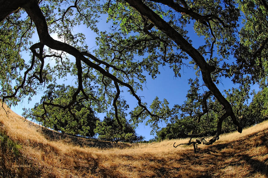 California Photograph - Looking Through The Oaks by Donna Blackhall