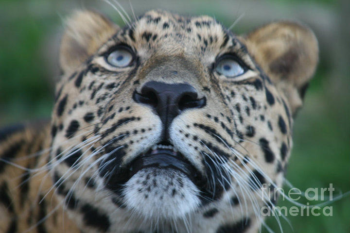Leopard Cub Photograph - Looking Up by Carol Wright