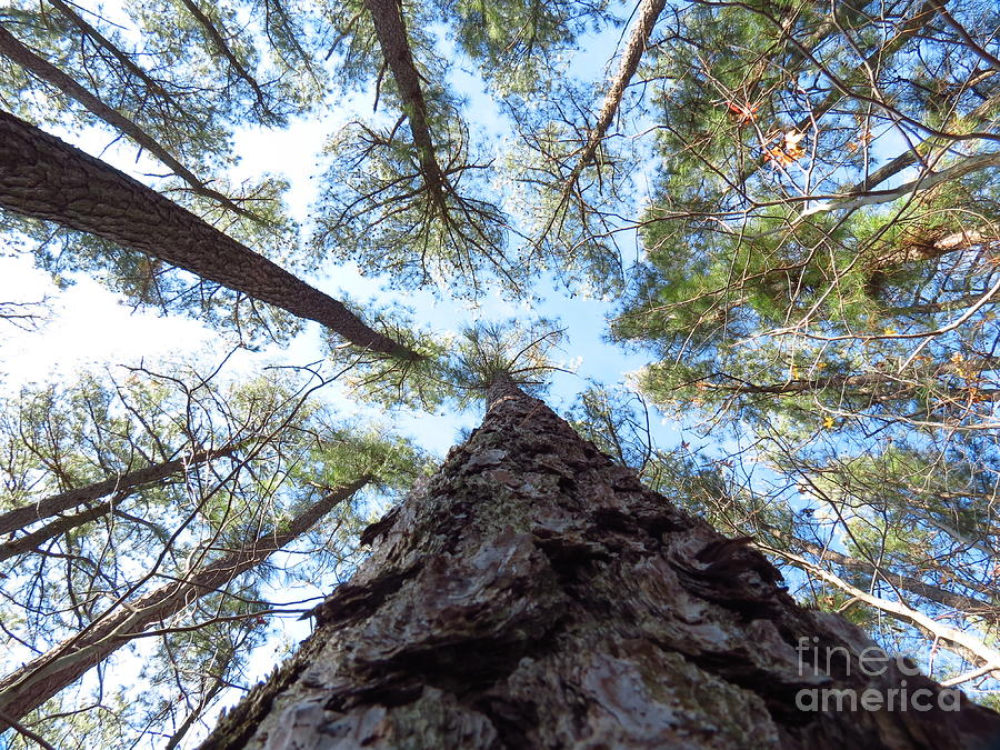 Trees Photograph - Looking up by Rrrose Pix