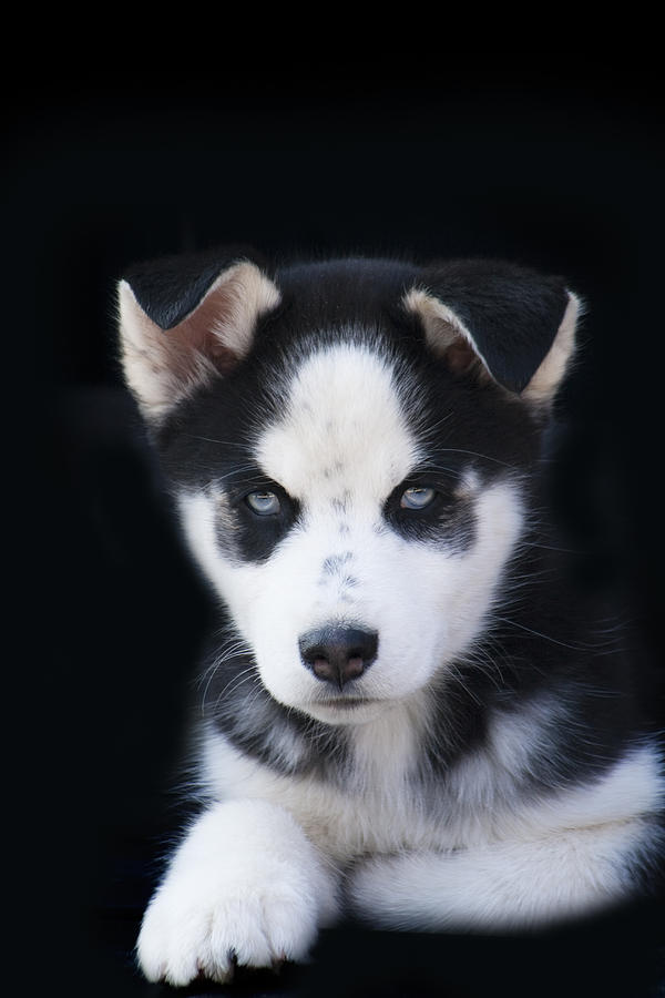 Lop eared siberian husky puppy photograph by kathy clark lop eared photograph lop eared siberian husky puppy by kathy clark voltagebd Image collections