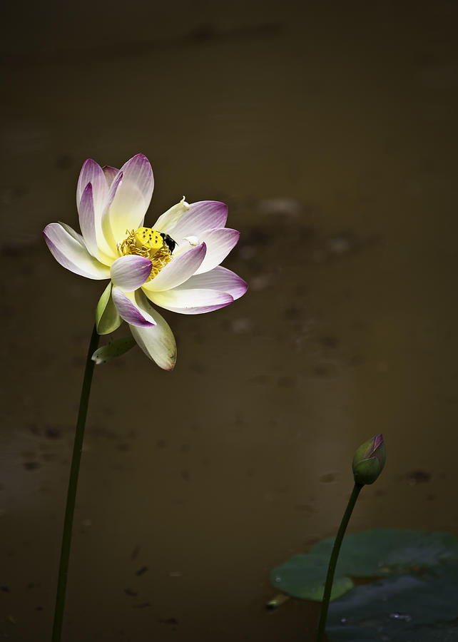 Bee On Flower Photograph - Lotus And Friend by Rob Travis