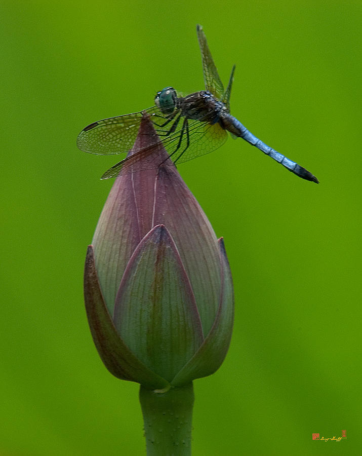 Nature Photograph - Lotus Bud And Blue Dasher Dragonfly Dl007 by Gerry Gantt
