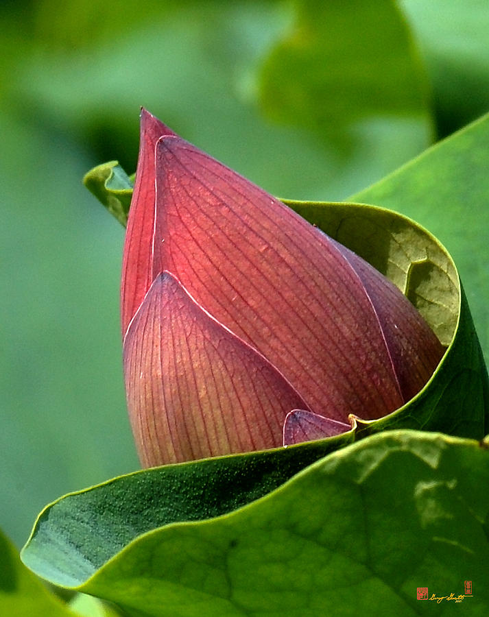 Nature Photograph - Lotus Bud--bud In A Blanket Dl049 by Gerry Gantt