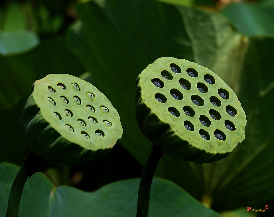 Nature Photograph - Lotus Capsules-sun Worshipers Dl052 by Gerry Gantt