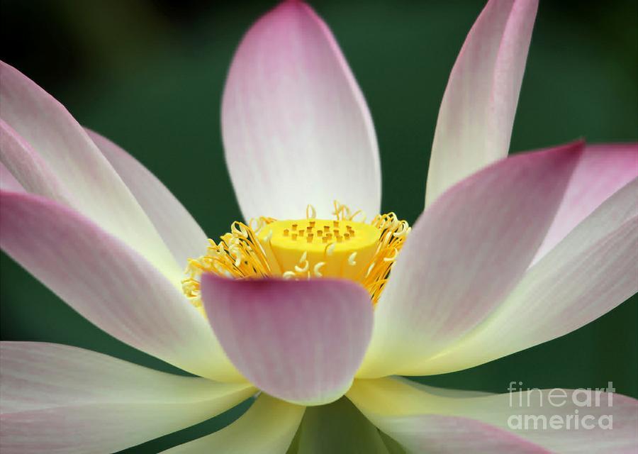 Lotus Photograph - Lotus Diva by Sabrina L Ryan