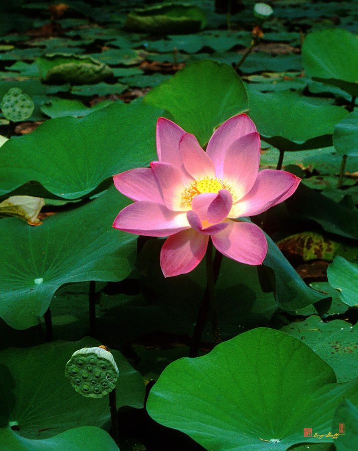 Nature Photograph - Lotus Flower And Capsule 24a by Gerry Gantt