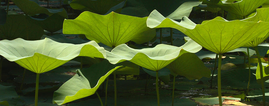 Lotus Lily Leaves In Pond Waimea Valley Photograph by Sebastian Kennerknecht