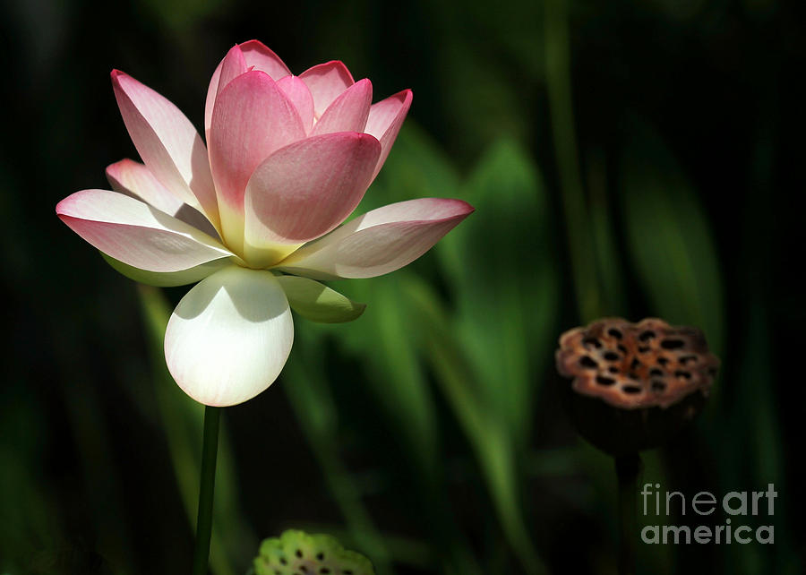 Landscape Photograph - Lotus Opening To The Sun by Sabrina L Ryan