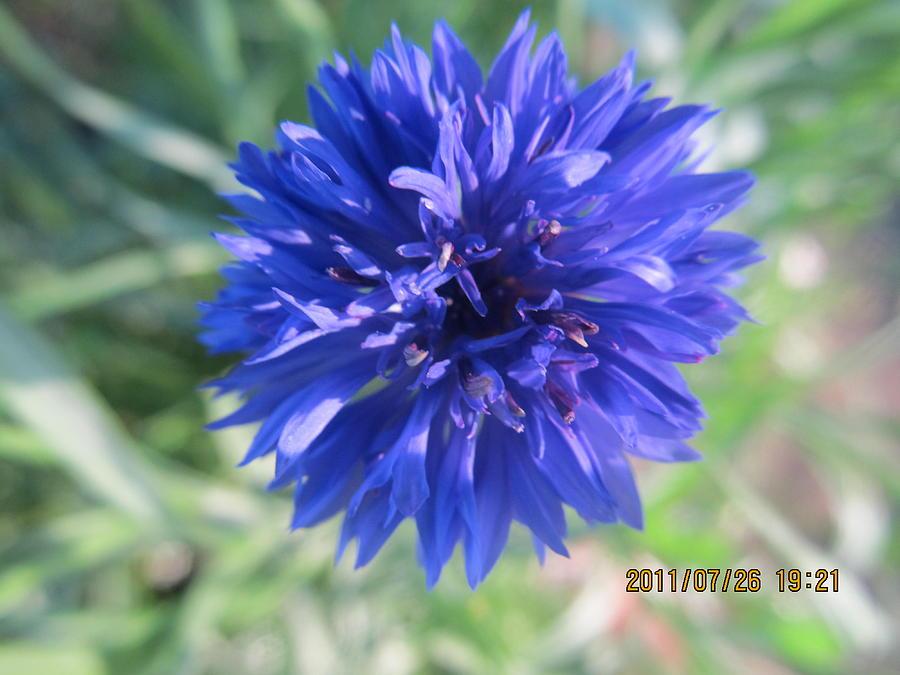 Flowers Photograph - Lovely Dark Blue Gentlemans Button by Tina M Wenger