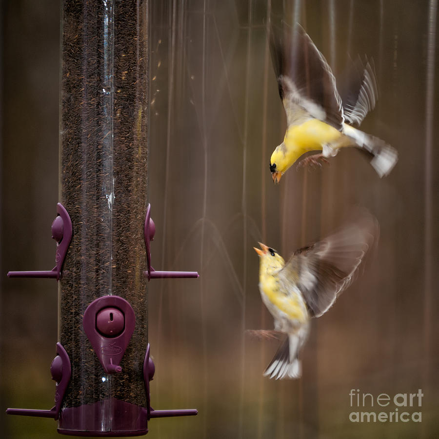 Yellow Finch Photograph - Lovely Fight by Venura Herath
