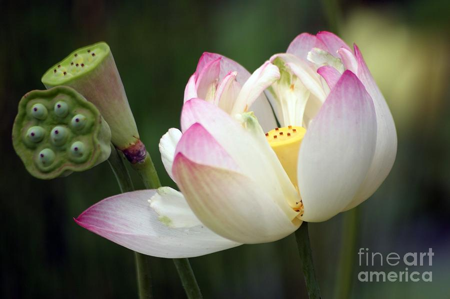 Lotus Photograph - Lovely Lotus by Living Color Photography Lorraine Lynch