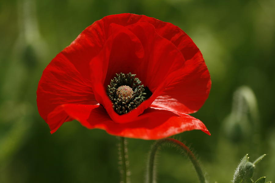 Lovely Oriental Red Poppy Wildflower Photograph by Kathy Clark