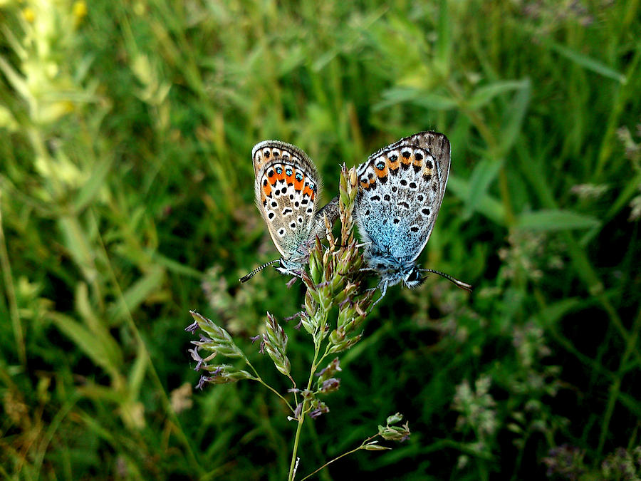 Butterfly Photograph - Loving by Lucy D