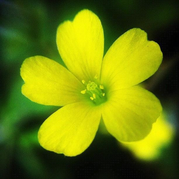 Lucerne yellow alfalfa flower photograph by jason fang alfalfa photograph lucerne yellow alfalfa flower by jason fang mightylinksfo