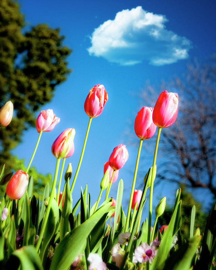 Tulips Photograph - Lucy In The Sky by Tamyra Ayles