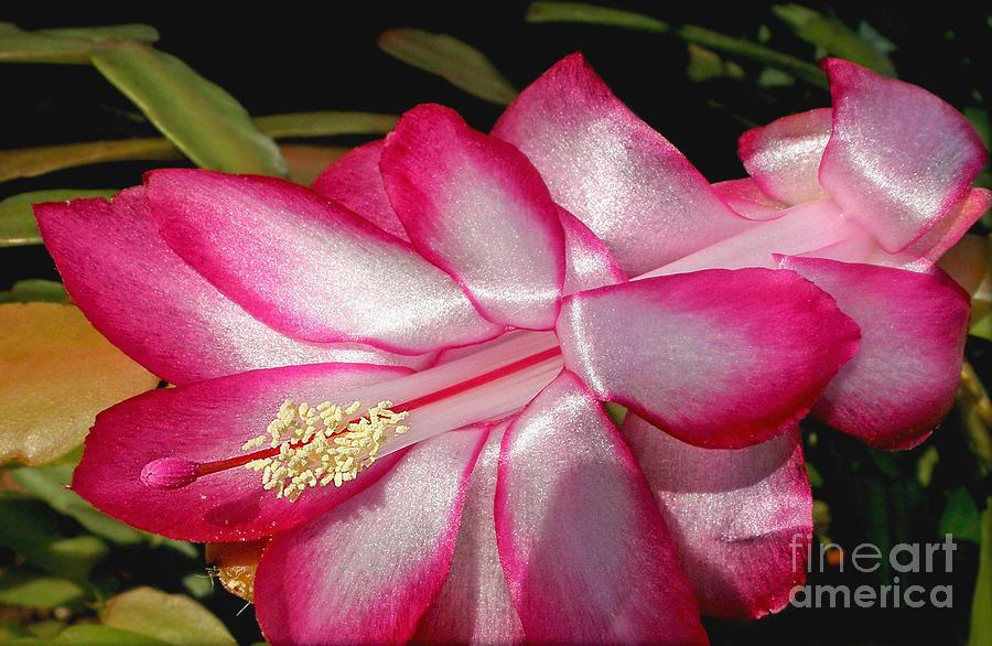 Cactus Flower Photograph - Luminous Cactus Flower by Kaye Menner