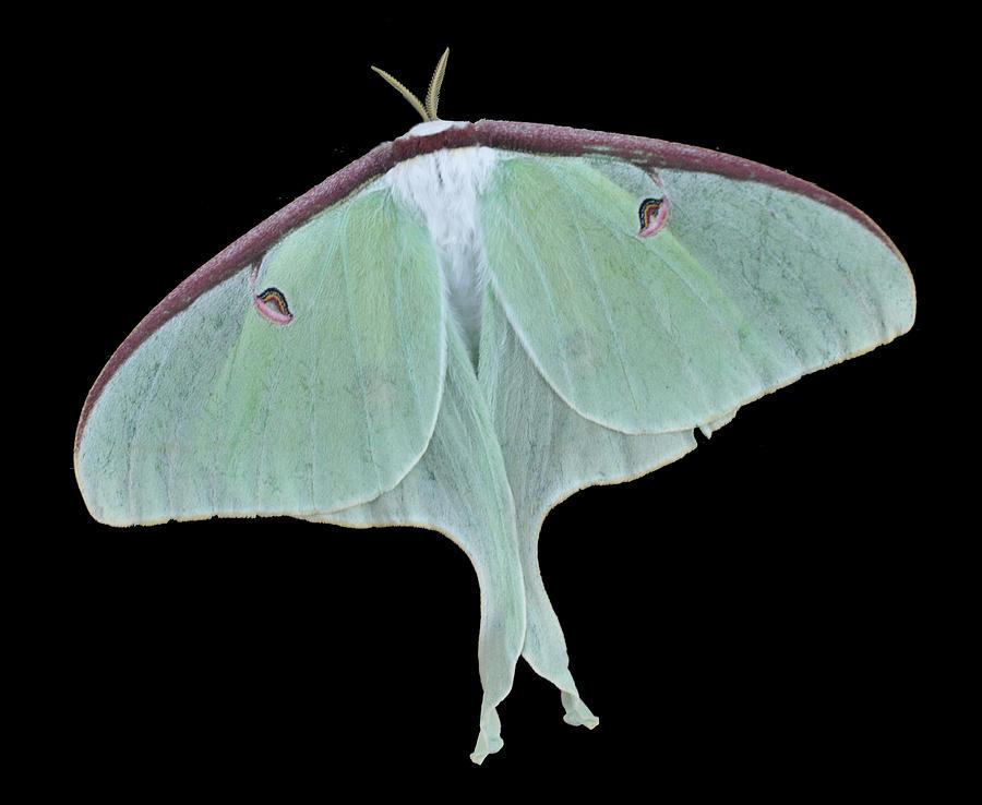 Luna Moth Photograph - Luna Moth by Paul Ward
