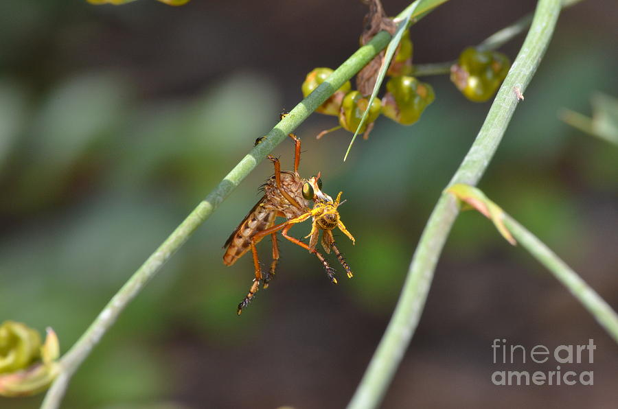 Robber Fly Photograph - Lunch Break by Kathy Gibbons