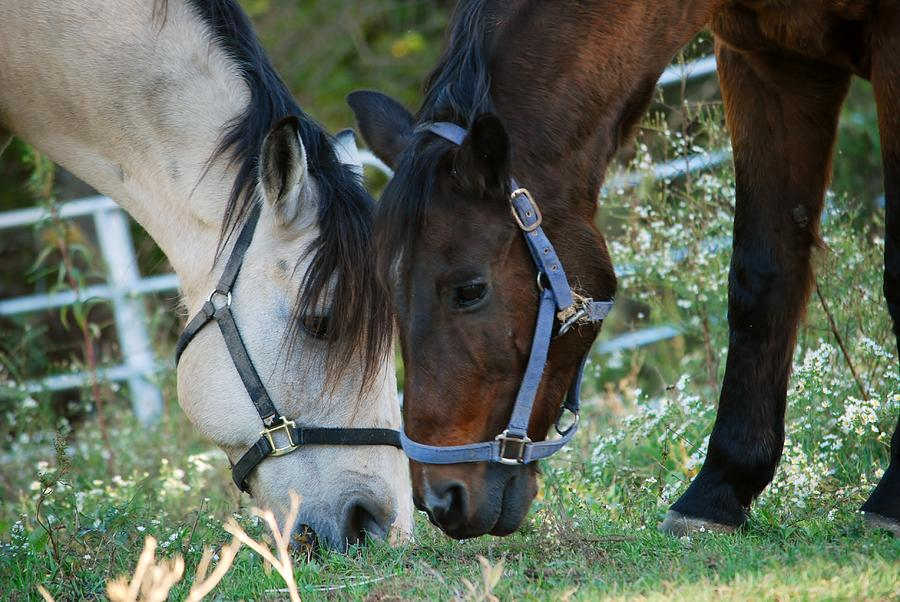 Horse Photograph - Lunch Date by Rose Pasquarelli