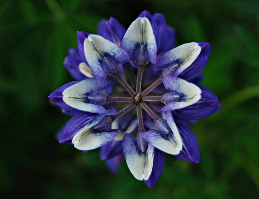 Lupine from Above by Marilynne Bull