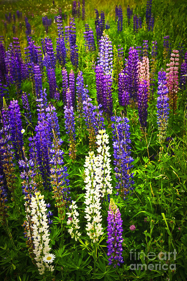 Flowers Photograph - Lupins In Newfoundland Meadow by Elena Elisseeva