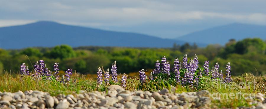 Panoramic Photograph - Lupins On A Shingle Beach by John Kelly