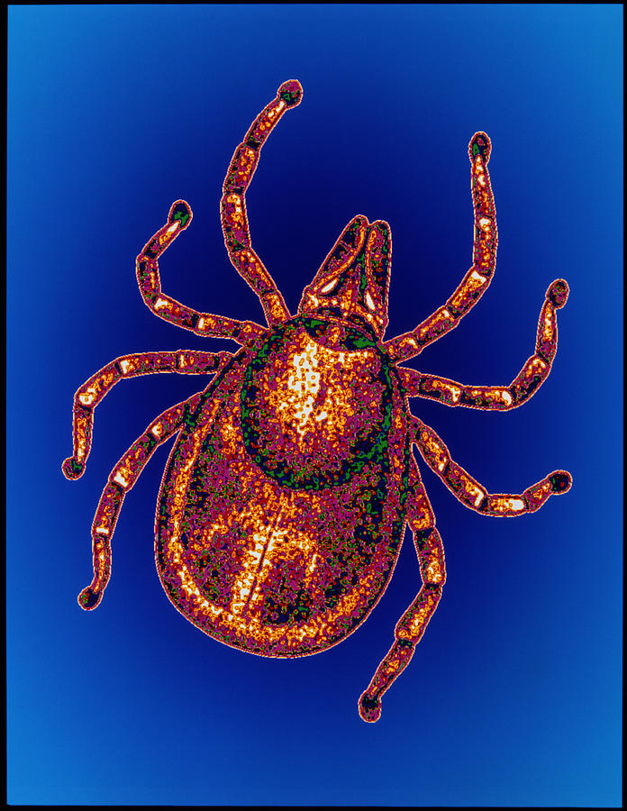 Ixodes Ricinus Photograph - Lyme Disease Tick by Pasieka