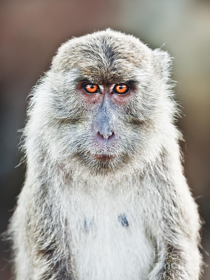 Macaque Photograph - Macaque Portrait by MotHaiBaPhoto Prints