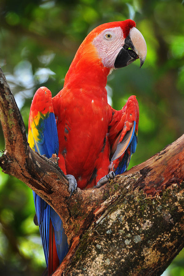 Parrot Photograph - Macaw Of Copan by Paul Bratescu