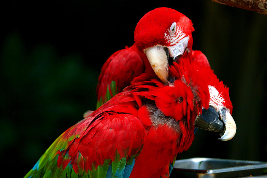 Macaw Photograph - Macaws by Paul Ge