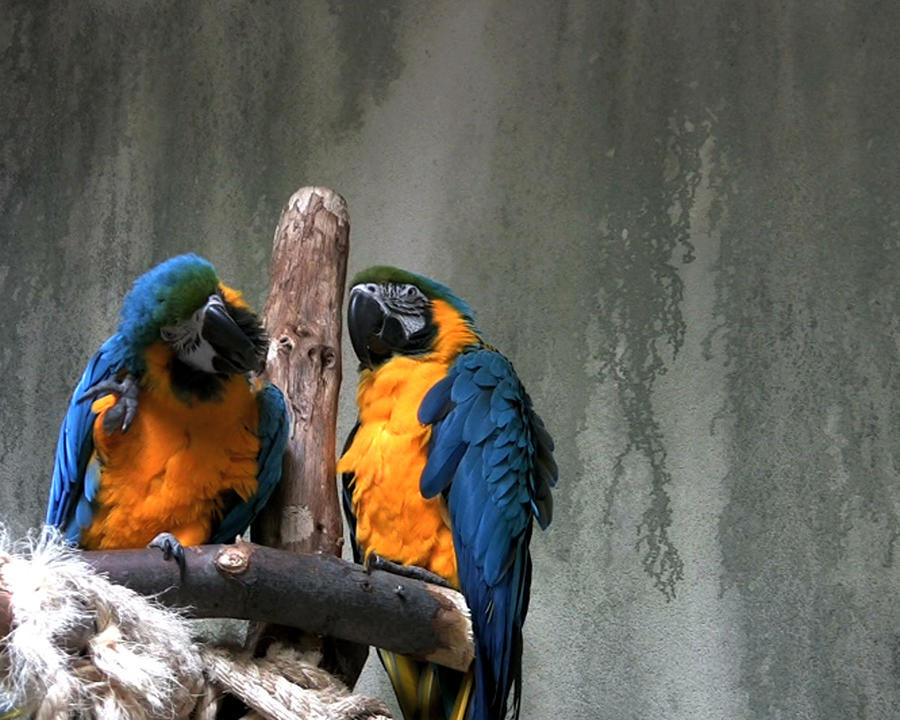 Animal Photograph - Maccaw Parrots by Kim French