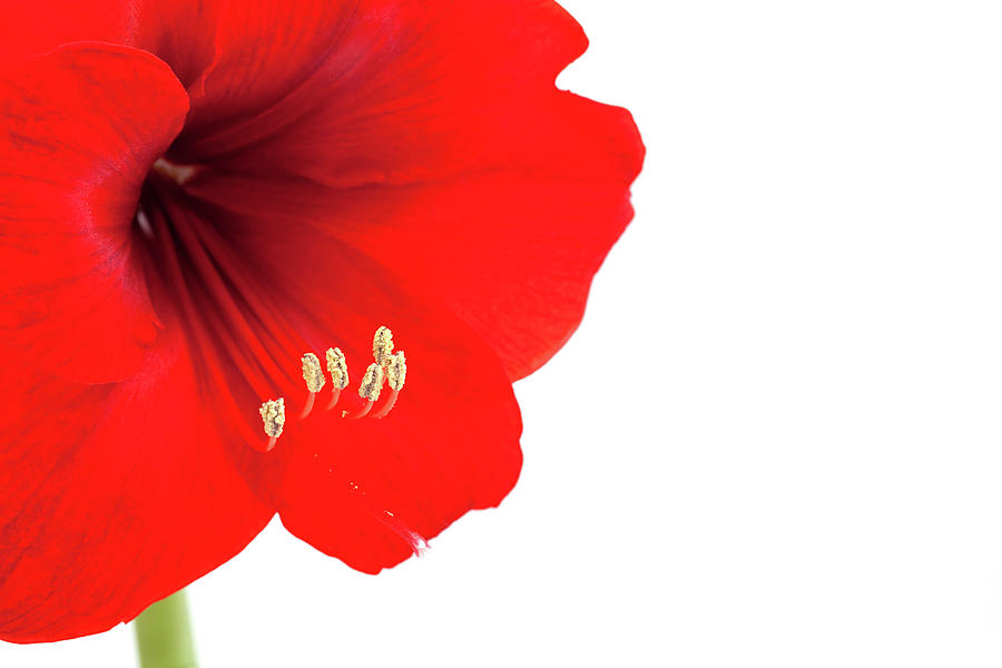 Horizontal Photograph - Macro Of Red Amaryllis With Copy Space by Ursula Alter