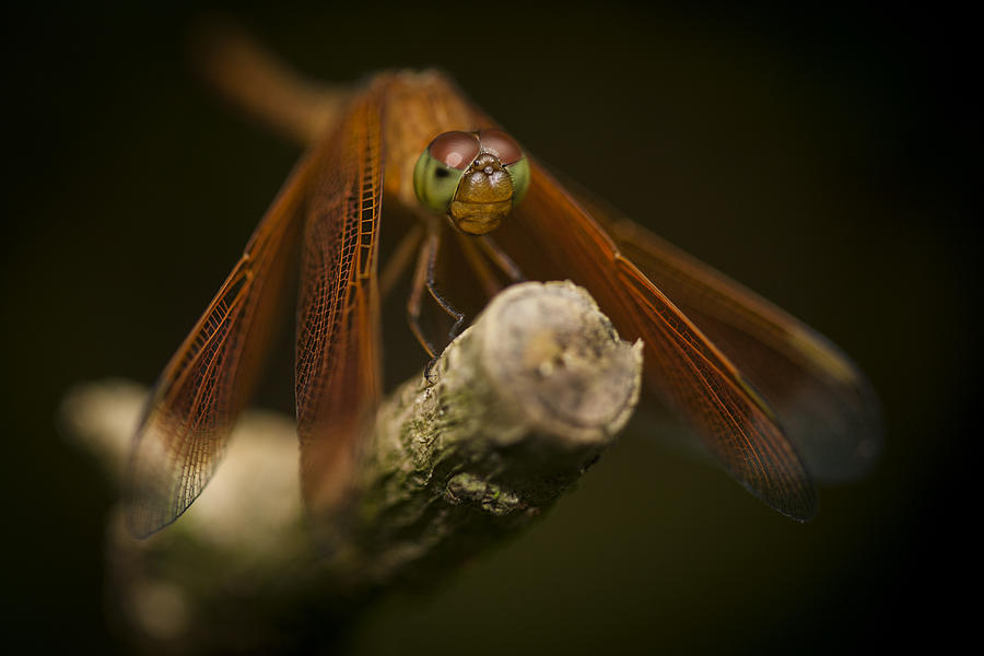 Red Photograph - Macro Photograph Of A Dragonfly On A Twig by Zoe Ferrie