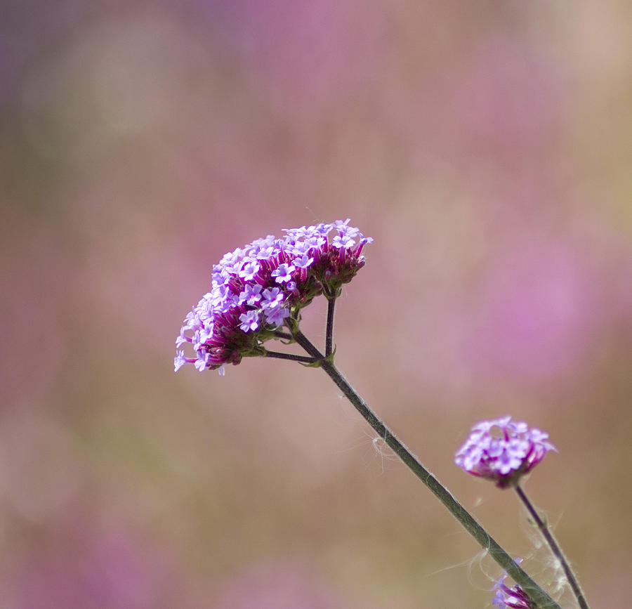 Purple Photograph - Macro Purple Flower Square by Pixie Copley