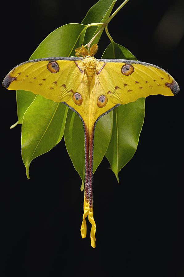 madagascar moon moth argema mittrei photograph by pete oxford