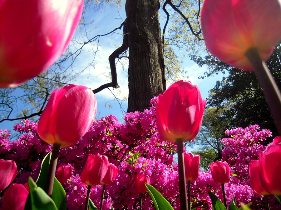 Tulips Photograph - Maestro Tree Conducts The Flower Orchestra by Don Struke