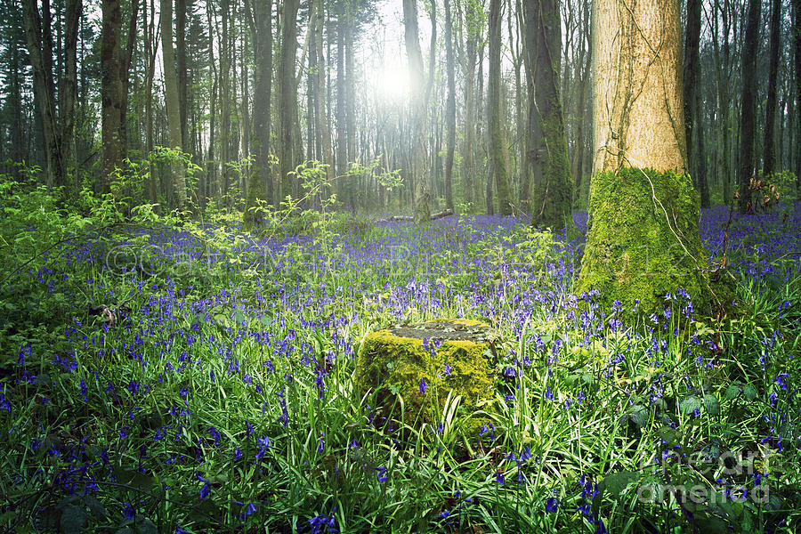 Magical Bluebell Forest In Kildare Ireland Photograph by Catherine MacBride