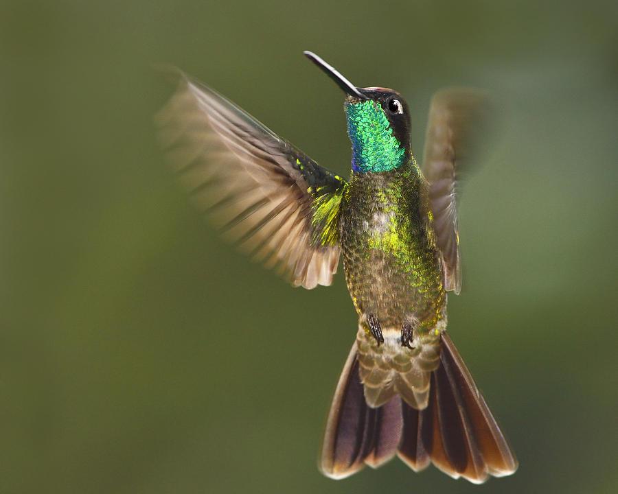 Magnificent Hummingbird Photograph - Magnificent by Tony Beck