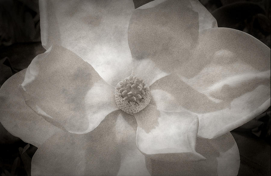 Magnolia Photograph - Magnolia 3 by Rich Franco
