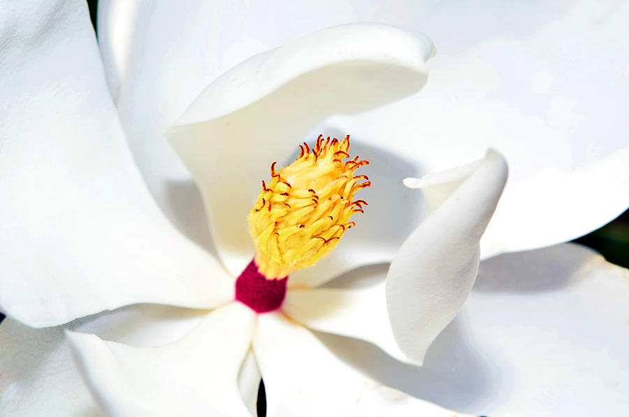 Nature Photograph - Magnolia Bloom by Susan Leggett