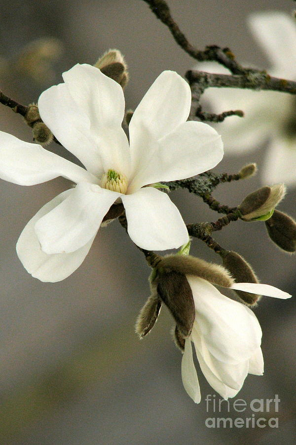 Magnolia Photograph - Magnolia by Frank Townsley